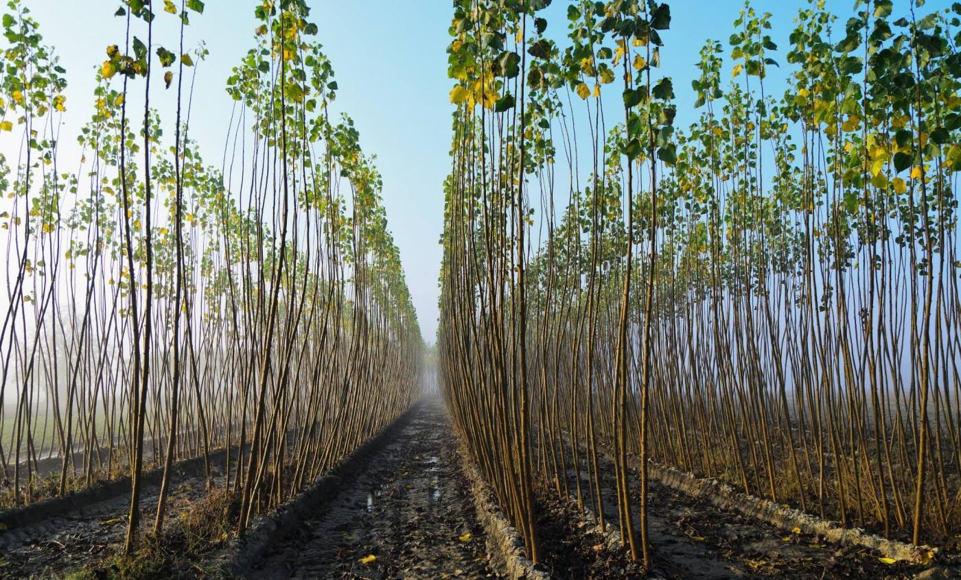 Seminario Biomasa. Cultivos Energéticos leñosos en Andalucía. Proyecto ROKWOOD
